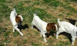 I have several wether/buck boer goats. They are high percentage. They are fast gainers if you are interested in showing them in the Walla Walla Fair. Please contact me with any questions. Phone: (541)-938-3238 Email: [email removed] Facebook: Boulder Pond
