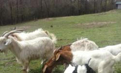 Have for sale young not register bucks and does ages 6 months - 3 years old. Prices range from $100 - $150. Call 601-552-9125.