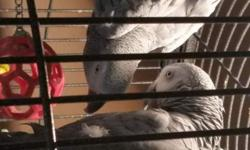 Experienced owners or breeders please! Meet Jacki and Echo.. A bonded breeding pair of African Grays.. They will only be sold together, and after signing a written agreement that they will always be kept together. They are NOT pets, they have bonded to