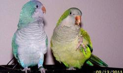 One blue and one green Quaker parrot. Bonded/mated pair and must stay together. The male (aprox 5 years old) is friendly (when NOT hormonal and when away from his mate), but the female (just turned 3 years old) is a biter most times, though she loves