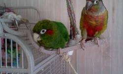 Bella and Bonito are approximately five years old. They are extremely bonded and must stay together. Their actual sexes are unknown. They love to be out of their cage and will sit on top of it as long as you let them. They do fly around occasionally. They