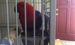 I have a bonded ready to breed pair of eclectus Parrots for sale. 500 OBO. My job doesn't allow The time I need to breed them. They are both 6 years old. I have all the original breeding paperwork