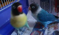 I have a one year old bonded pair of mask lovebirds for sale. One is a blue mask and the other is a par blue mask lovebird. Both birds come from par blue parents. They are not related. They were hand fed by me and do not bite. Asking $250