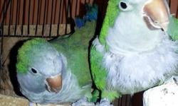 Bonded pair of quakers male and female. They are cage aggressive but when they come out of their cage they will step up. They are breeder birds. Both are 2 years old and where DNA sexed by Dr. Scott E. McDonald. There is a rehoming fee of $300 for