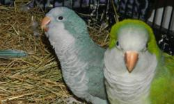 I HAVE A GREEN MALE AND BLUE FEMALE PAIR. THEY ARE NOT PROVEN. BOTH ARE DNA SEXED I WAS TOLD 2 YEARS OLD. THESE ARE NOT HAND TAMED. I ALSO HAVE 1 BALD GREEN DNA MALE 3 YEARS OLD PAIRED WITH A PALLID GREEN GIRL ALSO DNA. 2 YEAR OLD THEY WERE JUST PUT