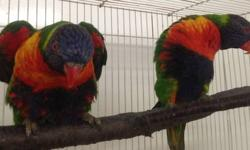 Young, bonded pair of Rainbow Lorikeets. Have not been setup. Very comical and animated. Located in the Finger Lakes region of NY. Can meet a reasonable distance or shipping is available via Delta Airlines at buyer's expense.