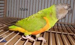 I am selling my pair of Senegal Parrots . They pair have been set up together for about 3 years . The female is just reaching breeding age . 700.00 for the pair .. This does not include cage .Sorry no shipping this time of year .. If you are with in