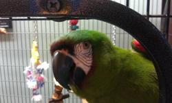 4th of July SALE! Well bonded pair of severe macaw parrots. Both birds are in 100% PERFECT condition head to toe with shimmering green ad chestnut plumage. This is one of the Largest mini macaws an have wonderfully playful and inquisitive natures. Male