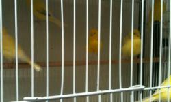 Border canaries from Europe. I have 60 of them, 2012 birds. All are inported from Belgium. Males & females are avaleble This ad was posted with the eBay Classifieds mobile app.