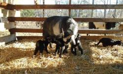 2 week old bucklings available for bottle raising now, or will hold until weaning with a deposit of half down. Will be weaned by 3/15/15.