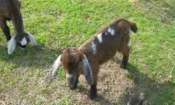 We have a couple babies left from our 2014 Breedings; 2 gorgeous boys! Born early January, all are weaned, eating non gmo feed , foraging and drinking water now. All babies have been dewormed and are ready to go. We have an organic all natural farm. These