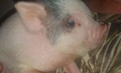 Very tame female bottle fed and spoiled tea cup potbelly piglet . Born 5-28 she is fully weaned and ready to go. Momma passed away giving birth she was 12 inches tall and weighed 40 pounds and daddy is 12 inches tall and weighs about 45 to 50lbs . Text me
