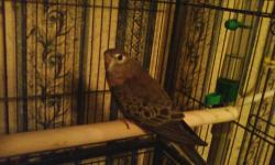 Hand fed and hand Tame, very sweet gentle bird, with great personality good with children, Nice pet,