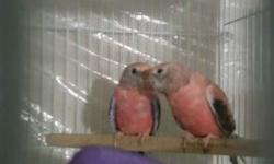 I have sweet young Bourke Parakeets ready to go $125 ea , for more info call 6158775511
