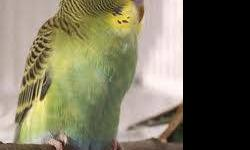 I have available to loving family hand-fed baby bourke parakeets. One is a normal with a high amount of blue and pink. The other is a rosie gorgeoous bold pink with blue. These babies will be available soon to a new home please contact me at [email