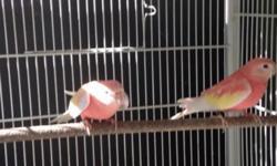 Male lutino and female rubino ready to breed