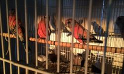 Regular rosie and pink Bourkes ready to bread I have males and females. Regular rosie $40 pinks $55 Hablo español. This ad was posted with the eBay Classifieds mobile app.