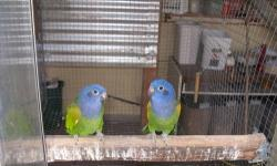 I have 4 breeder cages size 2ft x 4ft x 4ft on a stand. Excellent for cockatiels, conures or any birds of that size. Cages are in like new condition.
