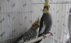 I have 2 pair of breeder cockatiels for sale.... They are both proven for me... contact me for more info