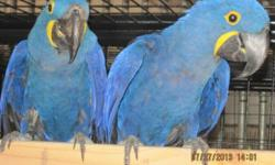 Due to personal circumstances, I am selling my collection of breeder pairs of parrots. All pairs have been my best producers for the past 5-8 years or are young and just starting to lay. There are no bad pairs available, they have all been surgically