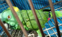 Want to buy a breeder male double yellowhead parrot or I will sell my egg-laying hen for $750 firm. She talks but is not hand-tamed.