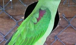 I have a breeder pair of quakers for sale. The female is blue and the male is green split to blue. I am asking 450 for the pair, their cage and nestbox. Please call no emails. I do not check my email. Thanks and have a blessed day.