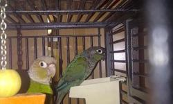 """3 cockatiel pairs $100 each pair 2 female cockatiel breeders $45 each , 1 parrotlet pair blue $150 1 male yellow parrotlet $75 1 pair proven ringnecks male olive and female tourquiose $550 all must go sell or trade for large tame """"baby"""" parrot amazon,gray"""