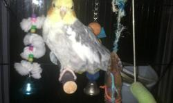 2 beautiful young adult mated cockatiel pairs available. Birds produce lutino, cinnamon, pieds, and normals. This ad was posted with the eBay Classifieds mobile app.