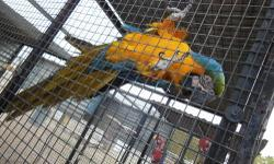 I am Letting go of my BLUE AND GOLD MACAWS. THEY ARE BONDED AND A BREEDING, PROVEN PAIR! Can not have them where I live. They are about 12 to 15 years old. In an outside aviary. Please call if interested 480-983-1494