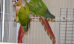 I HAVE A NICE BREEDING PAIR OF CINNAMON / PINEAPPLE CONURES, THESE ARE QUALITY BIRDS , FULL FEATHER , PROVEN BREEDERS , I WOULD SELL THE PAIR FOR $200.00 ( THESE ARE NOT PETS , THERE BREEDING BIRDS ) CALL CHUCK 479-640-0455
