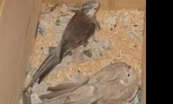 I have a friendly breeding pair of tiels They thro White face grey Pieds Pearl pieds Albino asking 150.00 obo for the pair please call or text for more information 407-712-0460