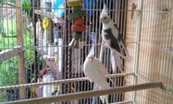 THIS IS A BREEDING PAIR OF COCKATIELS FOR SALE . ONLY $ 80.00 FOR BOTH. IF YOU NEED THE CAGE, ADD ANOTHER $ 80.00. THIS CAGE IS AROUND $ 120.00 IN PET STORES, I SALE IT WITH THE NEST AND OTHER ACCESORIES.