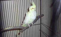 breeding pair of cockatiels 1&1/2 yrs old . will come with cage , new water bottle, toys, and food bowls.