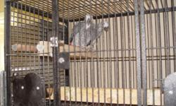For sale a nice breeding pair of Congo African Greys. They are both proven breeders for me, but with other mates. I just had both birds dna'd, and put them together last week. They are getting along fine, and both are chewing wood, so that is a very good