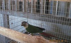 This is a spectacular pair of Yellowsided Greencheeks! They produce babies with AMAZING color and wonderful personalities. They give multiple clutches a year and 3-5 babies each clutch. They are great parents and in perfect feather. Call or email for more