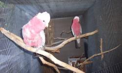 Lovely, Healthy Pair of Galahs...Rose Breasted Cockatoos. Have owned 2 years. I put this pair together in 2011 and F has laid eggs under nestbox (last season). M plucks(self & hen) I need to move as space is limited.