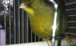 Budgie, parakeet, Rosy Bourke and normal Bourke proven pairs. Parakeets $45pr., Budgies $90 pair, Bourkes $150, Rosy Bourkes $175. 3 male singers, canaries, $45 each. Several young Bourkes and parakeets available, $75 & $10. This ad was posted with the
