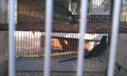 African Grey Congo-2 proven pairs -1800.00 per pair Citron Cockatoo proven pair - 1900.00 Goffins Cockatoo- bonded young pair 1400.00 Quaker proven 2 pairs- 500.00 per pair Greencheek-4 proven pairs 375.00-425.00 per pair Cockatiel proven pair- 200.00