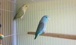 I am selling three of my breeding pairs of parrotlets along with a mauve male Linnie. This ad was posted with the eBay Classifieds mobile app.
