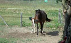 we have too many horses going into this winter so we have a few good ones for sale . Dixie a registered foxtrotter mare , dark bay with two white socks on the back over 15 hands tall 2005 modle. Dixie is had a colt this past year and was a wonderful