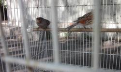 3 Male red bronze and 2 female red brown mosaic canaries. Banded. Bonded, proven, pair available. 2011 and 2012 available. Beautiful, and well taken care of. Price firm.