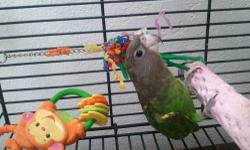 brown head parrot looking for forever home. rare bird. He is 9 years old and he prefers men. talks and his name boo