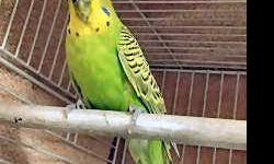 Budgie/Budgerigar - Bert - Small - Adult - Male - Bird CHARACTERISTICS: Breed: Budgie/Budgerigar Size: Small Petfinder ID: 24838108 CONTACT: Wisconsin Humane Society | Milwaukee, WI | 414-ANI-MALS For additional information, reply to this ad or see: