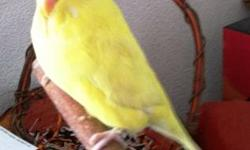 Budgie/Budgerigar - Corky - Small - Young - Bird Corky is an approximately 3 month old unsexed English Budgie. He/she is tame and handlable and in good feather. His/her adoption fee is $40. For more information on adoption, please visit our website at