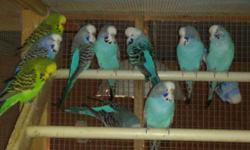 I have very nice budgies of many colors, commonly known as parakeets. The English budgies are larger and more tame. We also bird sit for you when you go away and also do trims of wings, toenails and beaks as needed. Walt or Mari at 727-726-6864, Safety