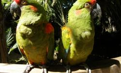 Male and female pair of buffons. They are very bonded and are preening and feeding each other. Male is 9 and female is 8. I simply am getting out of birds. I paid 3500 each. Buffons are very rare.must go asap