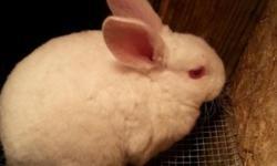 #5 - Mini Rex Bunny. 8 Weeks Old Male #4 - New Zealand Bunny. 8 Weeks Old Male Both $15