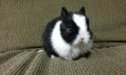 http://www.myfaithfulrabbitry.weebly.com we have some very sweet and very cute itty bitty baby bunny rabbits, all pure bred and from show lines and rare colored lines also. they are dwarfs and will stay small when full grown. we have the netherland dwarfs