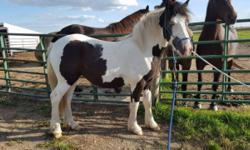 Bunny is a Gypsy Vanner Haflinger cross filly she is a black and white with two blue eyes she is yummy and friendly. Bunny is easy to work with and very happy to learn and loves to be worked with. She is sporty and flashy