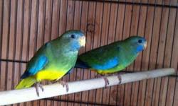 Hello, I am interested in buying a pair of unrelated Scarlet Chested Parakeets about 1 year old for $200-$250. I cannot drive far from San Jose.